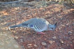 Bird in the Outback 1