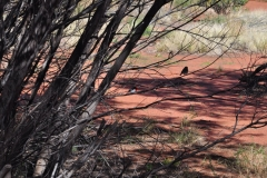 Birds in the Outback 2