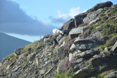 Rock Sheep