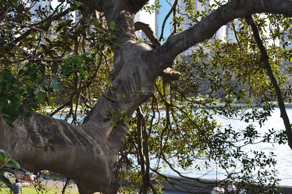 Tree in the park in Sydney 2